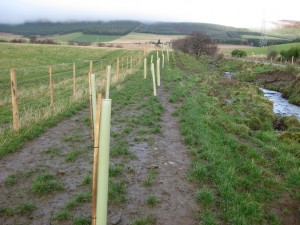 Newly planted buffer strip